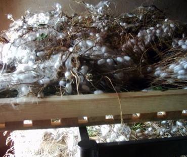 Silk rearing & silk processing
