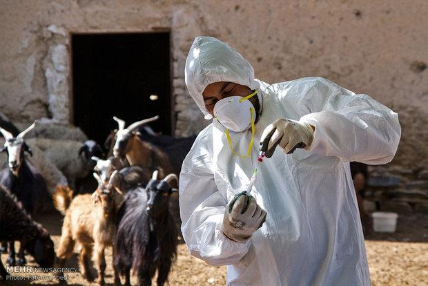 Emergency animal vaccination