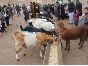Provision of animal husbandry to improve community self-reliance in Herat and Farah Province